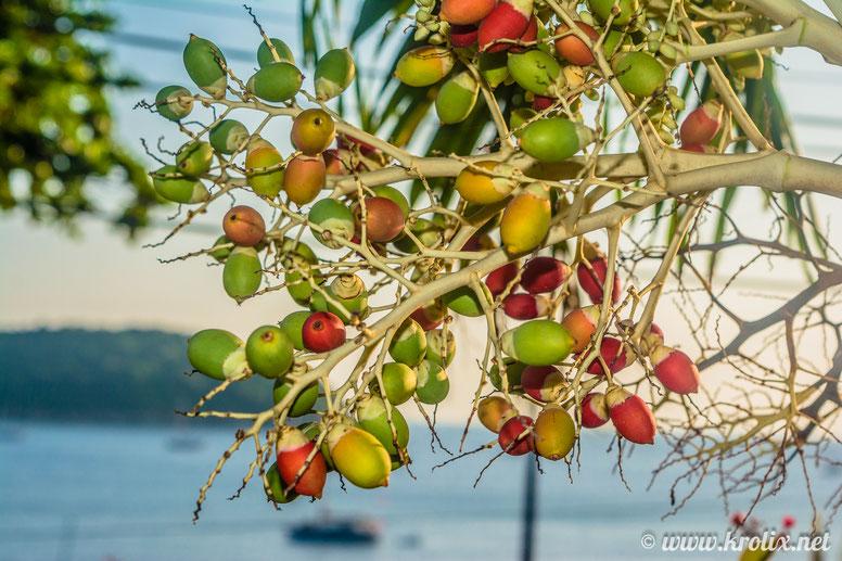 Какие-то странные плоды, похожие и на желуди, и на оливки