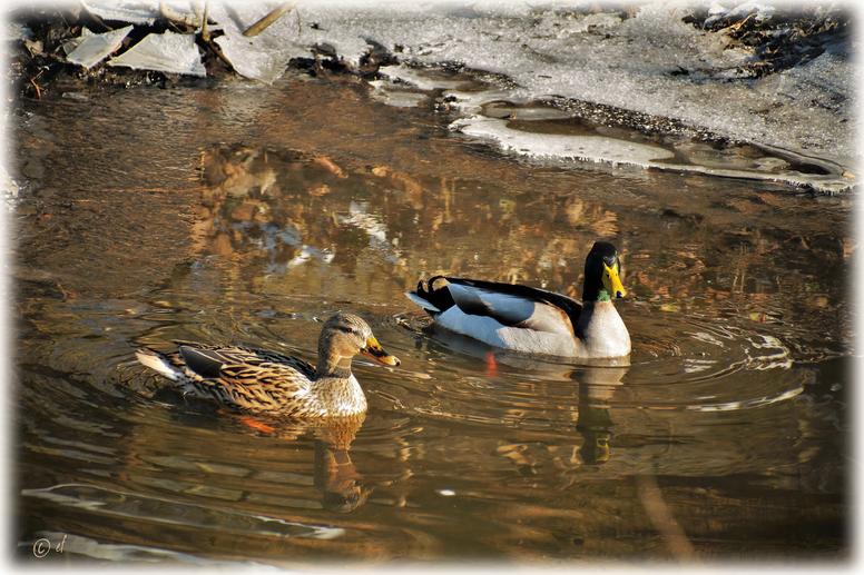 Ein Stockentenpaar genießt das Schwimmen in der Wintersonne