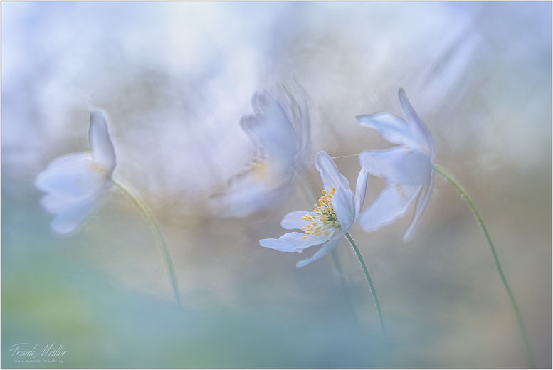 """"""" In Pastell""""   Anemone"""