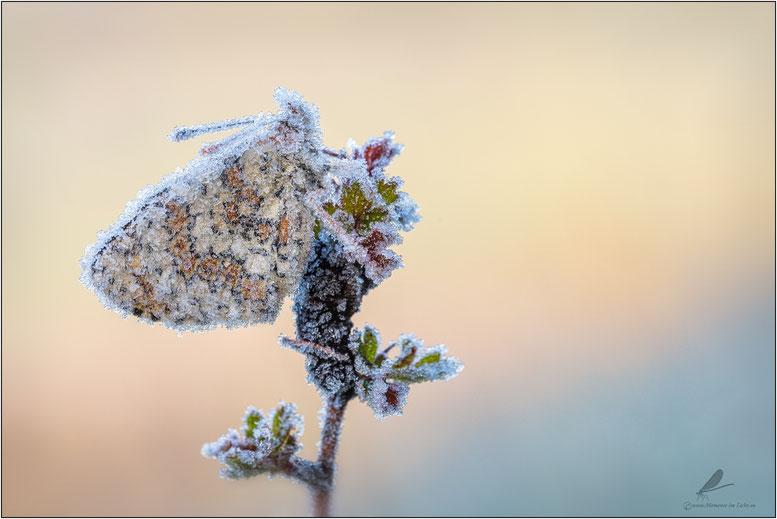 """ Gefroren""  Wegerich-Scheckenfalter (Melitaea cinxia)"