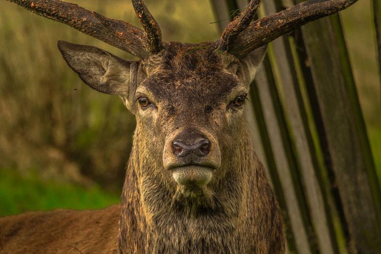 Il bramito del cervo in Val di Rabbi