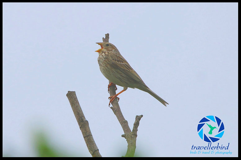 Grauammer, Corn Bunting, Emberiza calandra singing on a branch