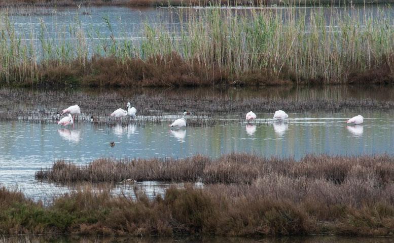 Flamingos im S'Albufereta Natural Reserve