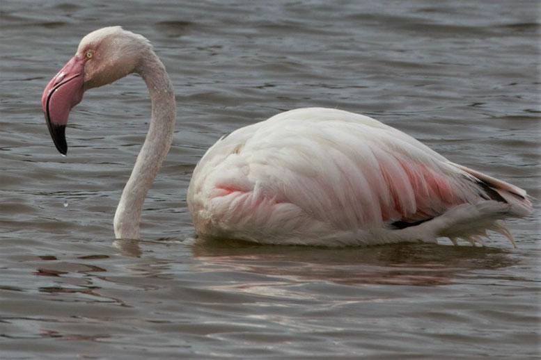 Flamingo, Mallorca