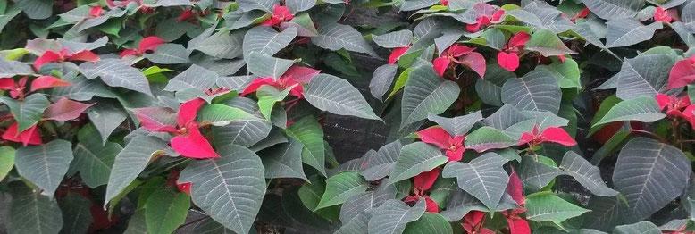 Der Fokus der Untersuchungen lag 2016 auf  Euphorbia pulcherrima (Weihnachtsstern).