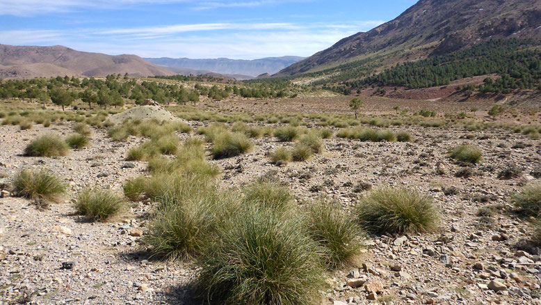Kaum nähern wir uns dem Pass wird die Landschaft wieder deutlich grüner. An den Steilhängen haben sich kleine Nadelwälder angesiedelt. Auf den ebenen Flächen nehmen Gräser immer größeren Raum ein.