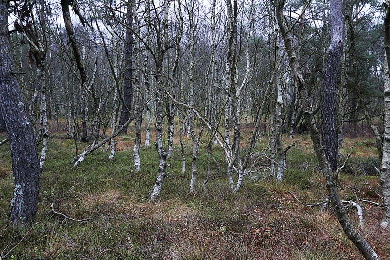 Karpatenbirkenwäldchen am Rande des Holzbohlenpfades.
