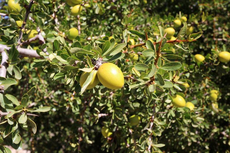 Arganbaum mit Früchten, die an Oliven erinnern. Die umgangssprachlich als Argannuss bezeichnete Frucht ist eigentlich eine Beere. Die Bäume sollen Wurzeln bis 30 Meter Teife ausbilden können. Beeindruckend!