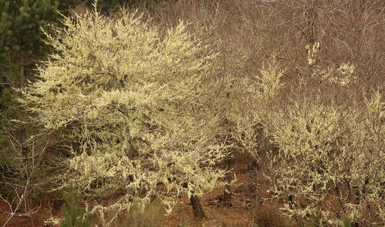 Ganze Bäume und selbst kleine Wäldchen sind zwischen Casa de Abrigo do poiso und Camacha mit Bartflechten überzogen.