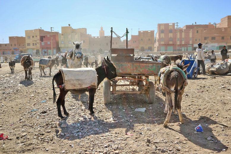 Nein, Esel möchte man eher nicht sein in Marokko. Die Eigentümer gehen häufig recht ruppig mit den Tieren um.