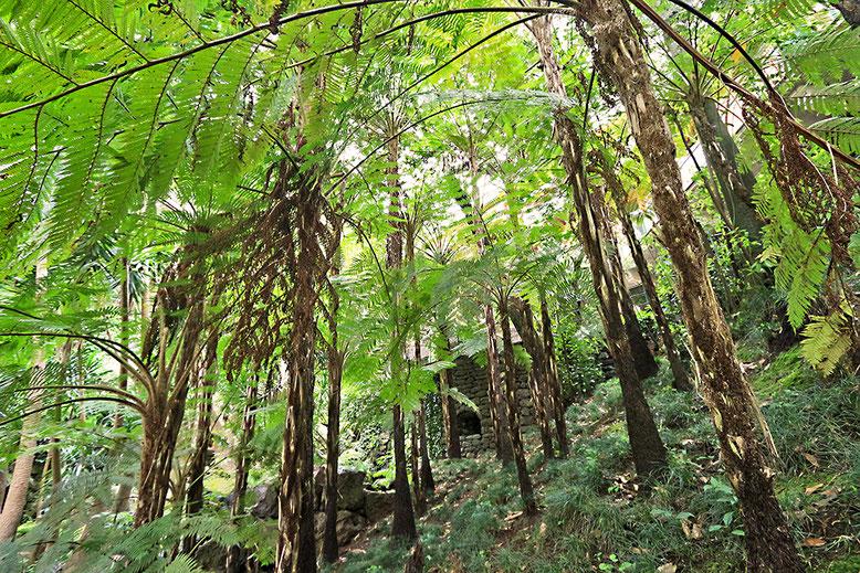 Wäldchen aus Baumfarnen im Tropischen Garten Monte Palace.