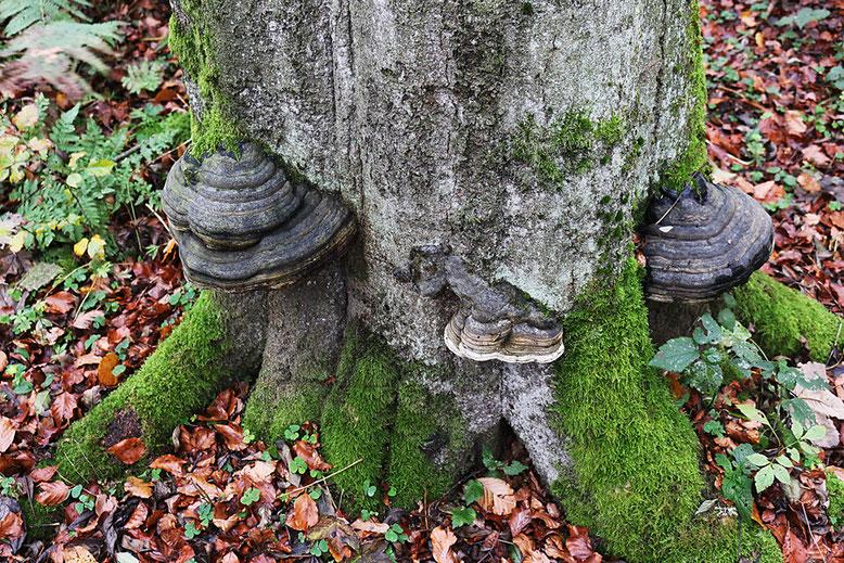 Rund um den Schafstein und auf dessen Kuppe findet man zahlreiche Baumpilze in allen Variationen.