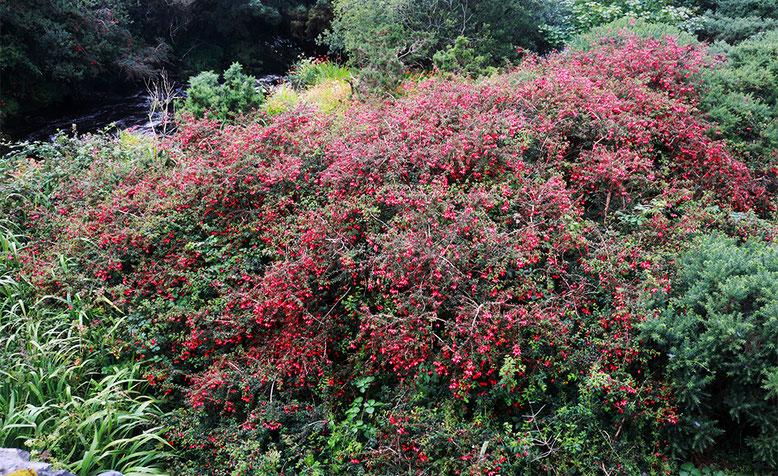 In großen Büschen, wild wachsende Fuchsien.