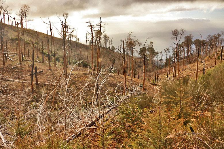 Von Waldbränden heimgesuchter Bergwald oberhalb Funchal.