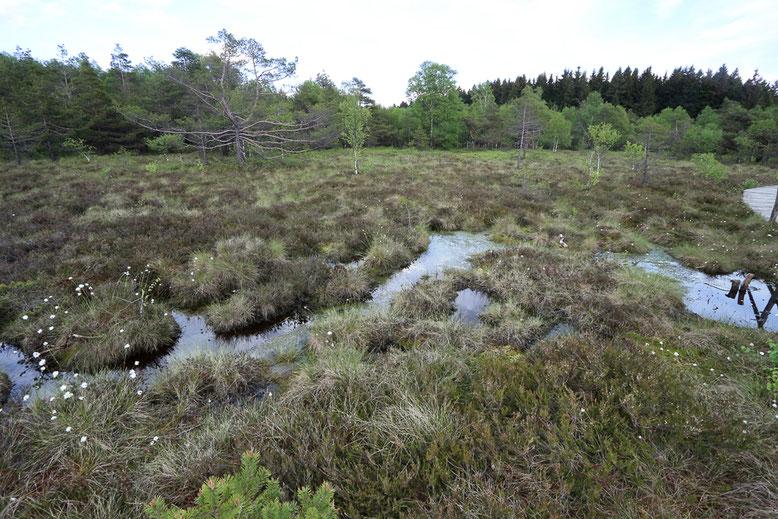 Stauwasser auf der Moorfläche.
