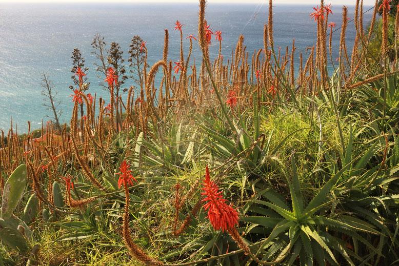 Aloe africana südlich der Levada dos Piornais.