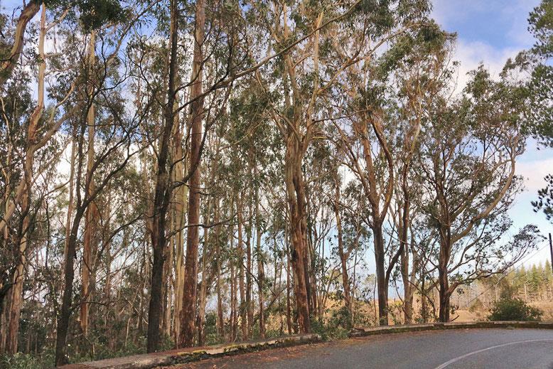 Eykalyptuswald oberhalb Funchal.