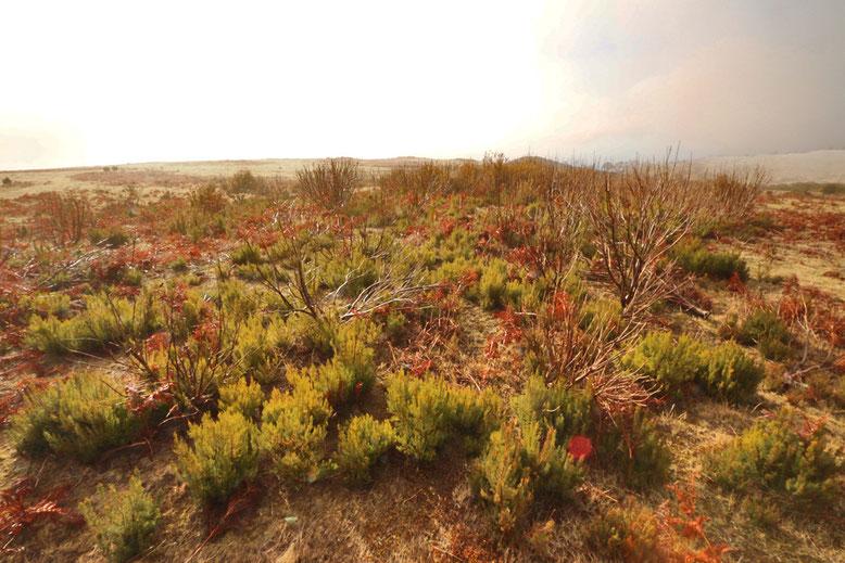 Bodendecker und niedere Gehölze am Rande des Weges zum Pico Arieiro.