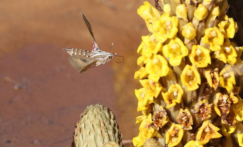 Michael fotografiert schon wieder. Unbekanntes Insekt im Anflug auf ein Sommerwurzgewächs (Cistanche tubulosa?), eine parasitäre Pflanze.