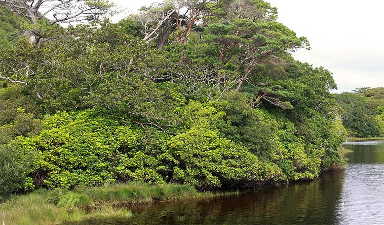 Unterholz mit dichtem Rhododendronbewuchs am Ufer des Pollacapall Lough.