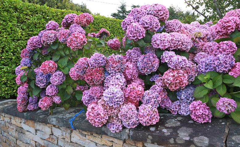 Hortensien gedeihen prächtig in Irland. Deshalb schmücken sie so manchen Vorgarten.
