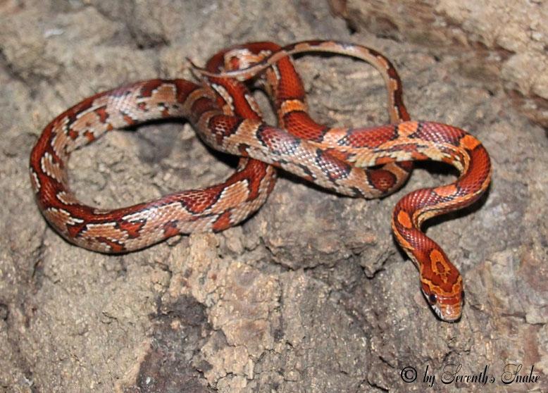 Wildfarben (Aztec) - sevenths-snakes Webseite!