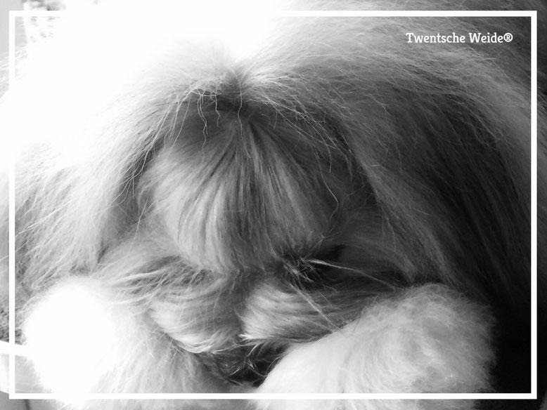 lhasa apso kennel heeft puppies uit gezonde combinatie met schitterend lhasa apso karakter