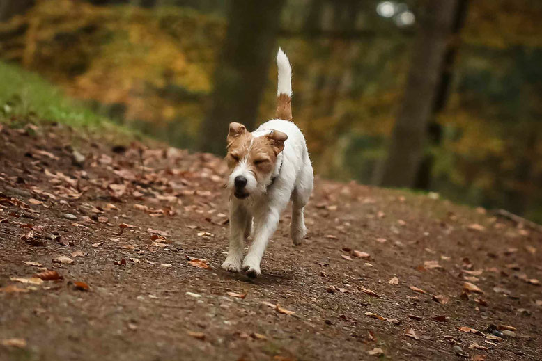 Franky-Hadog macht beim Waldspaziergang lieber die Augen zu