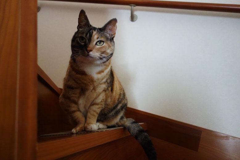 保護猫・三毛猫・猫・しじみ
