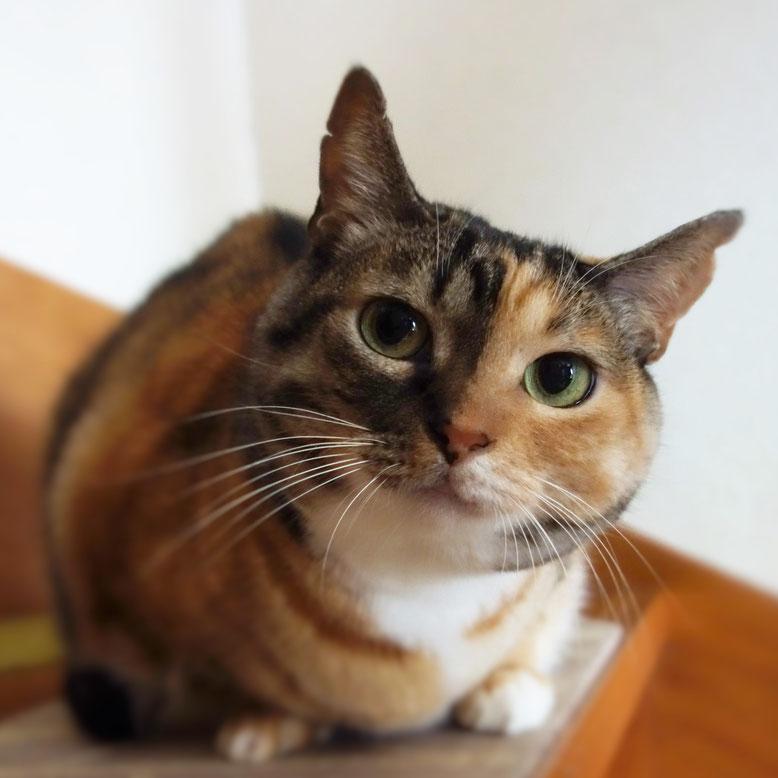 保護猫、三毛猫しじみ