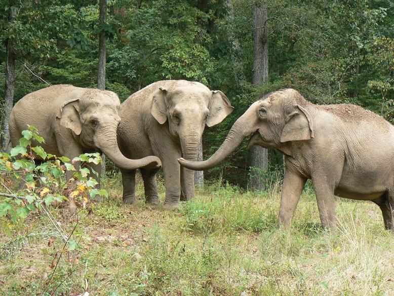 Three elephants at The Elephant Sanctuary in Hohenwald, TN. (Photo courtesy of The Elephant Sanctuary).
