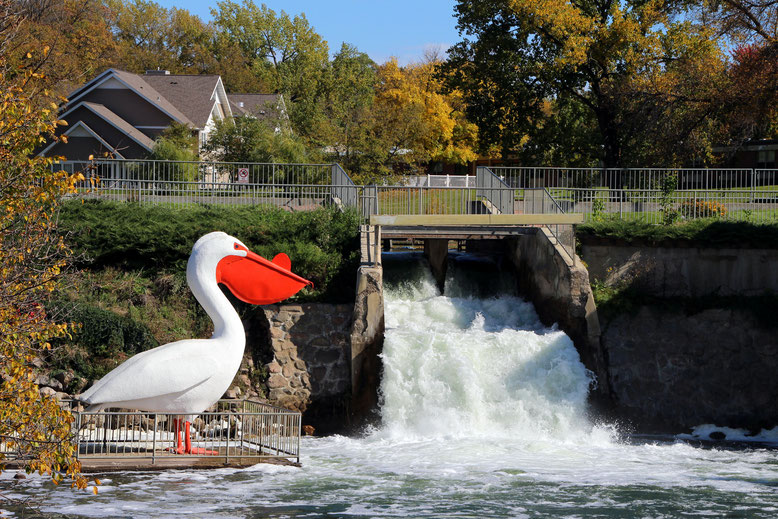 Pelican Rapids: World´s largest Pelican