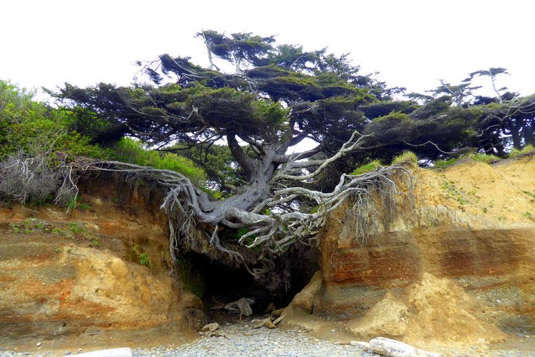 Tree of Life am Kalaloch Beach