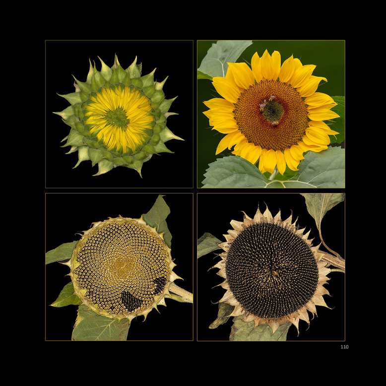 """aus: """"Die Schönheit der Blumen im Licht des Goldenen Schnittes"""""""