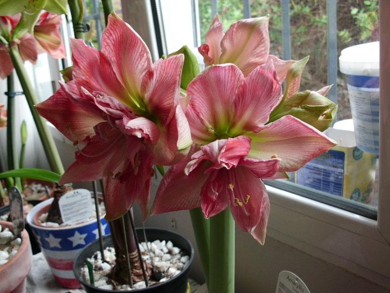 Hippeastrum Sweet Nymph esta es su tercera vara floral así que si todos los capullos abren habrá tenido esta temporada 16 flores.