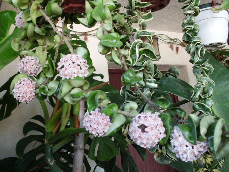 Creo que merece la pena un primer plano de estas flores de Cera tan bonitas de la Hoya Compacta.