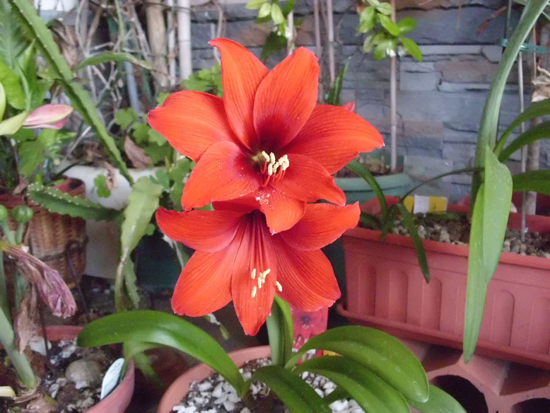 Hippeastrum Royal Red.