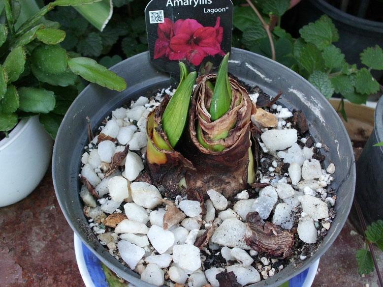 Hippeastrum Lagoon, este tenía mucha ilusión de tenerlo por sus bonitas flores color cereza, pero desde el principio el tunicado se empezó a poner negro y las varas florales han empezado a ponerse blandas, así que me temo que no van a abrir bien.