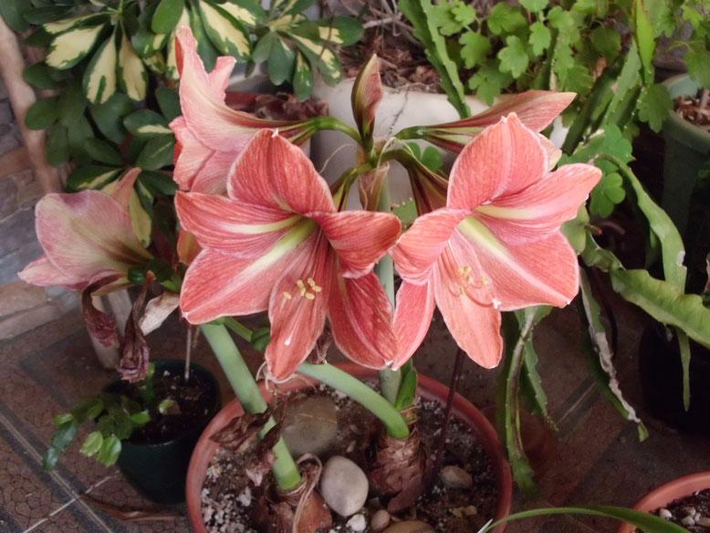Los Terracotta Star no paran de florecer, han elaborado 3 varas con 5 capullos cada uno.