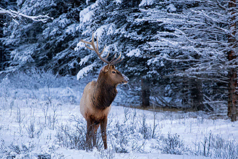 Elk posing for a photo in Banff National Park @InAFaraway_Land
