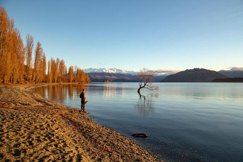Lone Willow tree, Wanaka, New Zealand