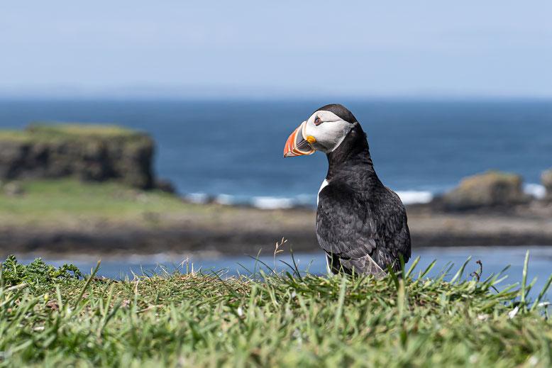 Schotland, papegaaiduiker