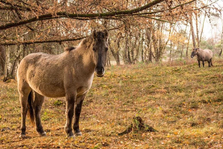 Konikpaarden, Plantage Willem III