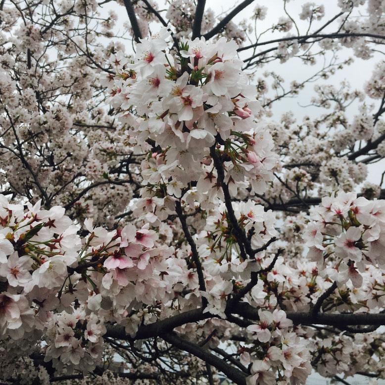 スタッフ駐車場近くの桜も満開(⌒∇⌒)