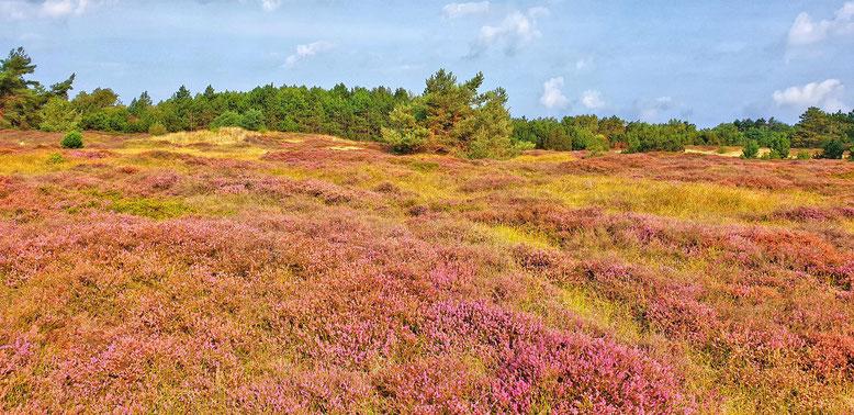 Die Dünenheide auf der Insel Hiddensee, ein Pardies, nicht nur für die Augen.......