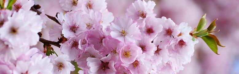 cerisier, fleurs, fleur, cap sur vous, réflexologie plantaire, reiki, séance, séance métamorphique