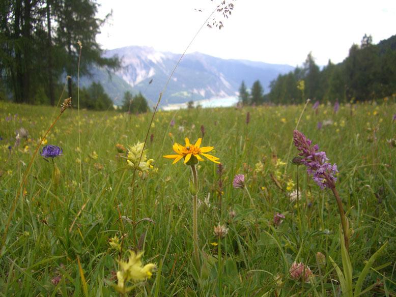 Heilkräuter einer Bergwiese am Reschenpass im Vinschgau