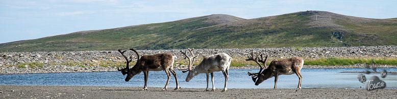 Rentiere im Samenland (Lappland)