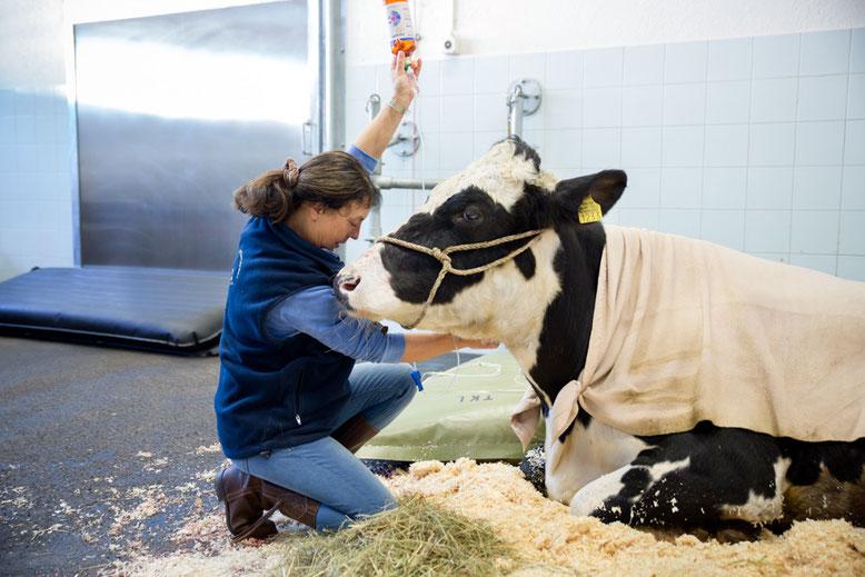 Betreuung nach Kaiserschnitt bei einer Kuh
