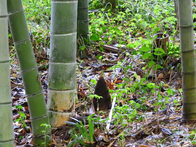 竹の子(たけのこ) 散策路 170418撮影